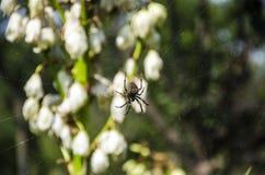Aranha e flores Foto de Stock