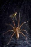 Aranha e mosca do fúnil em forma de teia de aranha Imagem de Stock Royalty Free
