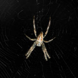 Aranha e Web Foto de Stock Royalty Free