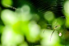 Aranha e Web de aranha na floresta Fotos de Stock Royalty Free
