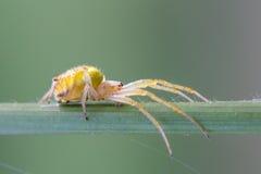 Aranha em plantas Imagens de Stock Royalty Free