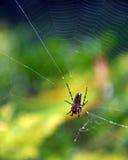 Aranha em seu Web Imagem de Stock