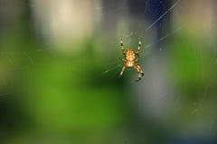 Aranha em seu Web Foto de Stock Royalty Free