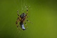 Aranha em sua Web que come uma rapina Fotos de Stock Royalty Free