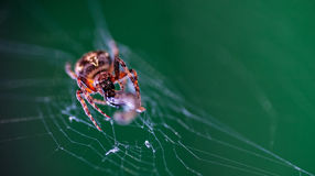 Aranha em sua Web que come a vítima Fotos de Stock