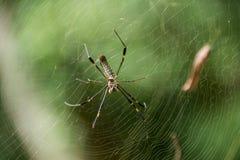 Aranha em um Web Foto de Stock