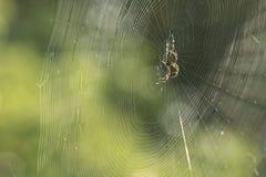 Aranha em um Web Foto de Stock Royalty Free