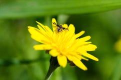 Aranha em uma flor Fotografia de Stock