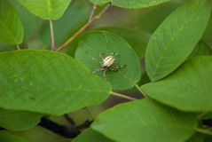 Aranha em uma folha Fotografia de Stock Royalty Free
