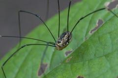 Aranha equipada com pernas longa imagens de stock