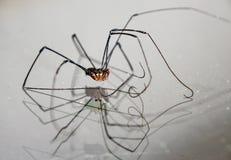 Aranha equipada com pernas longa Foto de Stock Royalty Free
