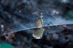 Aranha escondida Fotografia de Stock