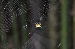 Aranha espinhoso de Hasselt s Fotografia de Stock