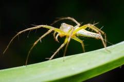 A aranha está levantando em uma folha verde Imagem de Stock