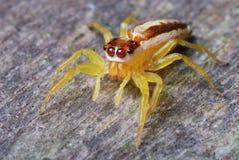 Aranha fêmea da ligação em ponte fotografia de stock royalty free