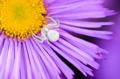 Aranha fêmea das caças brancas da cor Foto de Stock Royalty Free