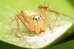 Aranha fêmea do lince Fotografia de Stock Royalty Free