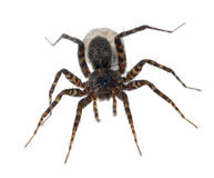 Aranha fêmea que carreg seu ovo-saco Foto de Stock Royalty Free
