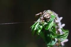 A aranha fêmea uma aranha de jardim da terra comum (lat Diademat do Araneus Fotografia de Stock