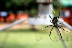 Aranha fresca Imagem de Stock