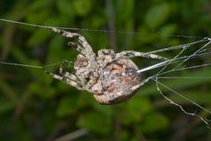 A aranha gira o aranha-Web 11 Fotografia de Stock Royalty Free