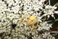 Aranha Goldenrod do caranguejo (vatia de Misumena) Foto de Stock