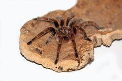 Aranha grande Imagem de Stock