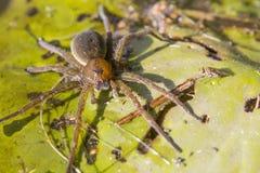 Aranha grande da água Fotos de Stock Royalty Free