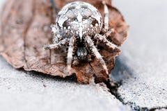 Aranha grande da esfera na folha foto de stock