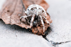Aranha grande da esfera na folha Imagens de Stock