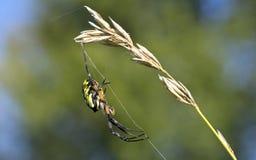 Aranha grande que pendura fora da grama Foto de Stock Royalty Free
