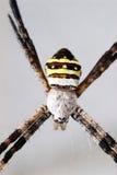 Aranha listrada amarela Fotografia de Stock