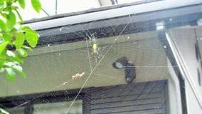 Aranha listrada amarela Foto de Stock Royalty Free