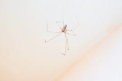 Aranha longa do pé do paizinho - phalangioides de Pholcus Fotografia de Stock