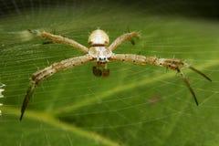 Aranha longa V1 dos pés Fotografia de Stock Royalty Free