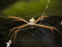 Aranha longa V1 dos pés Imagens de Stock