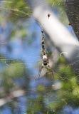 Aranha madura do caçador Fotos de Stock