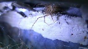 Aranha manchada que tenta caçar uma aranha da casa vídeos de arquivo