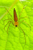 Aranha masculina do lince Foto de Stock Royalty Free