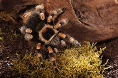 Aranha mexicana de Redknee Imagem de Stock Royalty Free