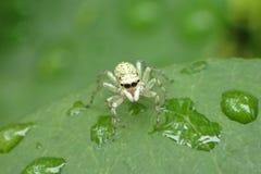 Aranha na folha com gotas da água Imagem de Stock