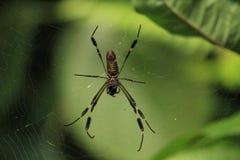 Aranha na teia de aranha Foto de Stock