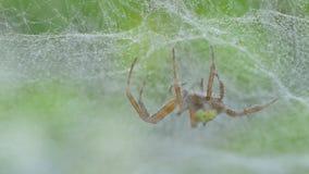 Aranha na teia de aranha na floresta tropical tropical vídeos de arquivo