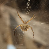 Aranha na Web Fotografia de Stock Royalty Free