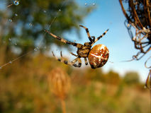 Aranha na Web de aranha após a chuva Fotografia de Stock Royalty Free