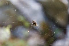 Aranha na Web na floresta em Altai, Rússia fotos de stock