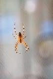 Aranha na Web no dia de verão Fotos de Stock Royalty Free
