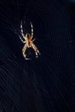 Aranha na Web no dia de verão Imagens de Stock