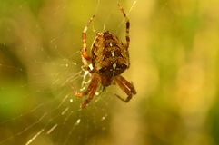 A aranha no amanhecer atribui a saliva para tecer a Web Imagem de Stock Royalty Free