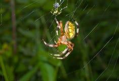 Aranha no aranha-Web 19 Imagem de Stock Royalty Free